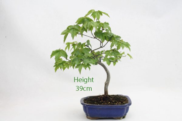 Trident Maple Bonsai Tree Number 515 available to buy online from All Things Bonsai Sheffield Yorkshire with free UK delivery