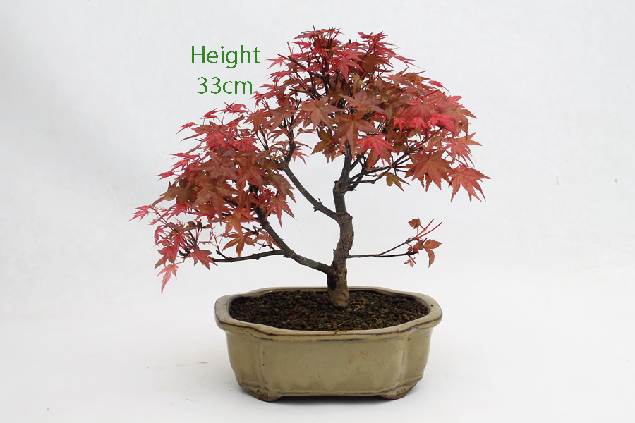 Acer Palmatum Deshojo Japanese Maple Bonsai Tree Number 538 All
