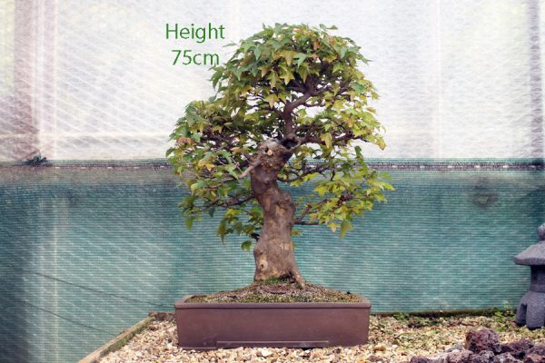 Trident Maple Bonsai Tree Number 467 available to buy from All Things Bonsai Sheffield UK