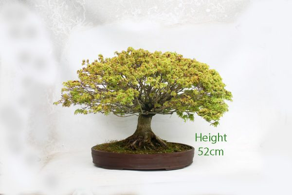 Acer Palmatum kiyohime Japanese Maple Bonsai Tree available to buy online from All Things Bonsai Sheffield Yorkshire with free UK delivery