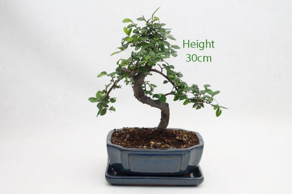 Chinese Elm Bonsai Tree Number 438 available to buy online from All Things Bonsai Sheffield Yorkshire with free UK delivery