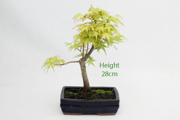 Acer Palmatum Sango Kaku Japanese Maple Bonsai Tree Number 762 available to buy online from All Things Bonsai Sheffield Yorkshire with free UK delivery