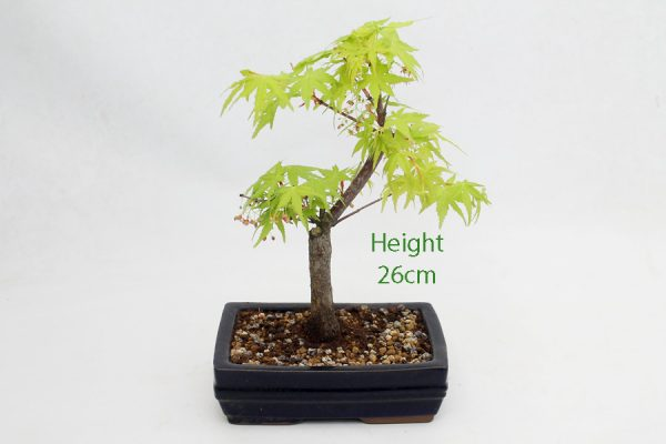 Acer Palmatum Sango Kaku Japanese Maple Bonsai Tree Number 650 available to buy online from All Things Bonsai Sheffield Yorkshire with free UK delivery