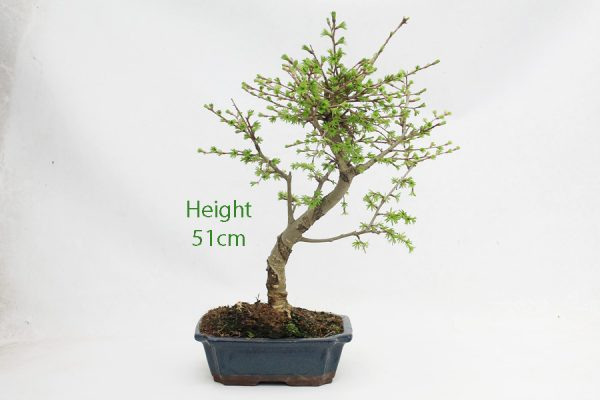 Golden Larch Bonsai Tree Part Trained Number 402 available to buy online from All Things Bonsai Sheffield Yorkshire with free UK delivery