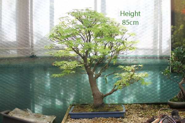 Acer Palmatum Japanese Maple Bonsai Tree Number 201 available to buy from All Things Bonsai Sheffield Yorkshire UK