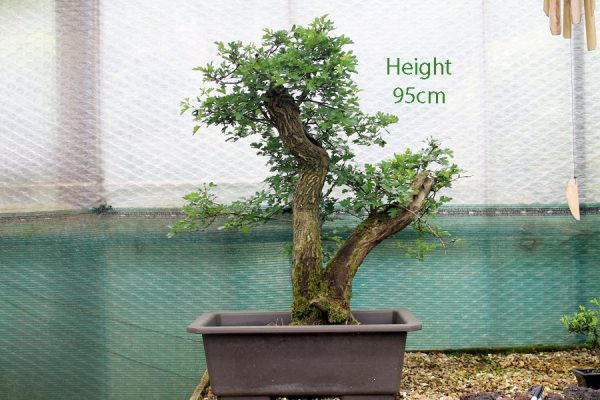 Hawthorn Bonsai Tree Twin Trunk Part Trained available to buy from All Things Bonsai Sheffield Yorkshire UK