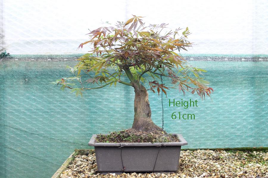 Suminagashi Acer Palmatum Japanese Maple Bonsai Tree Part Trained