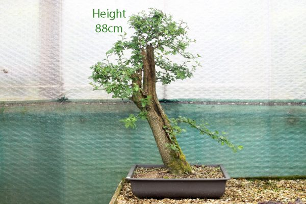 Hawthorne Bonsai Tree Part Trained available to buy from All Things Bonsai Sheffield Yorkshire UK