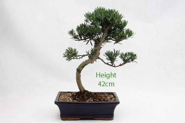 Buddhist Pine Podocarpus Bonsai Tree Number 471 available to buy online from All Things Bonsai Sheffield Yorkshire with free UK delivery