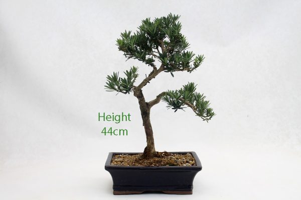 Buddhist Pine Podocarpus Bonsai Tree Number 531 available to buy online from All Things Bonsai Sheffield Yorkshire with free UK delivery
