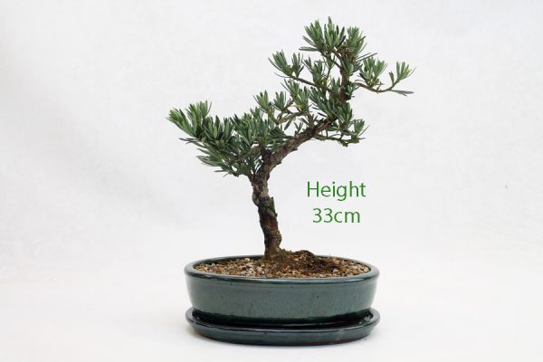 Buddhist Pine Podocarpus Bonsai Tree Number 95 available to buy online from All Things Bonsai Sheffield Yorkshire with free UK delivery
