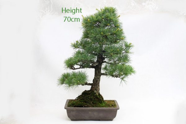 Japanese White Pine Bonsai Tree Number 564 available to buy online from All Things Bonsai Sheffield Yorkshire with free UK delivery
