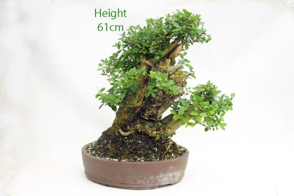 Privet Bonsai Tree Number 636 available to buy online from All Things Bonsai Sheffield Yorkshire UK