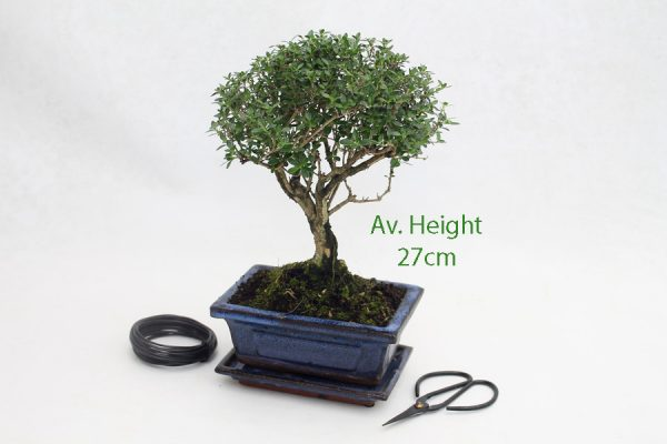 Serissa Flowering Bonsai Tree 15cm Pot available to buy online from All Things Bonsai Sheffield Yorkshire with free UK delivery