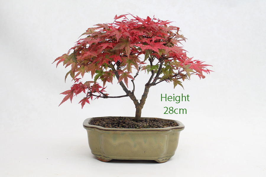 Acer Palmatum Deshojo Japanese Maple Bonsai Tree Number 423 All