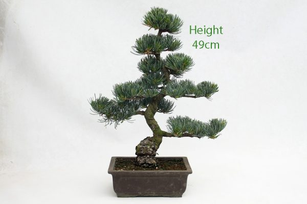 Japanese White Pine Bonsai Tree Number 601 available to buy online from All Things Bonsai Sheffield Yorkshire with free UK delivery