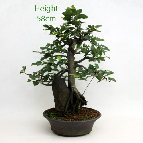Beech On Rock Bonsai Tree available to buy from All Things Bonsai Sheffield Yorkshire
