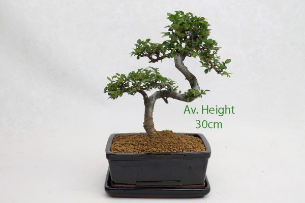Small Elm Bonsai Tree Black Rectangular Pot And Tray Style 2 available to buy online from All Things Bonsai Sheffield Yorkshire with free UK delivery