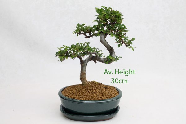 Small Elm Bonsai Tree Green Oval Pot And Tray available to buy online from All Things Bonsai Sheffield Yorkshire with free UK delivery
