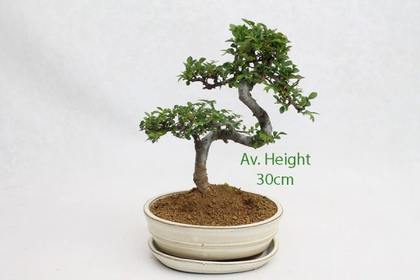 Small Elm Bonsai Tree Cream Oval Pot And Tray available to buy online from All Things Bonsai Sheffield Yorkshire with free UK delivery