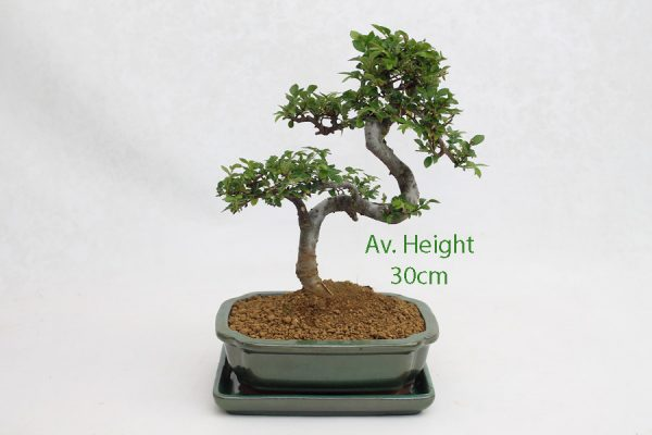 Small Elm Bonsai Tree Green Rectangular Pot And Tray available to buy online from All Things Bonsai Sheffield Yorkshire with free UK delivery