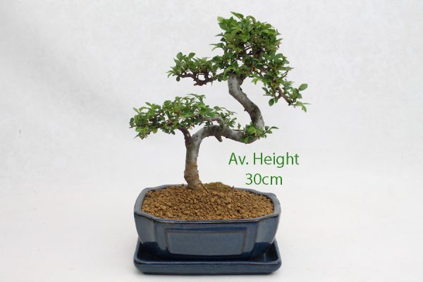 Small Elm Bonsai Tree Blue Rectangular Pot And Tray available to buy online from All Things Bonsai Sheffield Yorkshire with free UK delivery