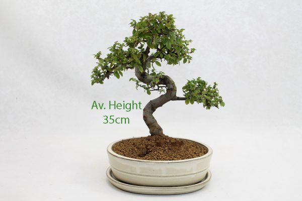 Chinese Elm Bonsai Tree Cream Oval Pot And Tray available to buy online from All Things Bonsai Sheffield Yorkshire with free UK delivery