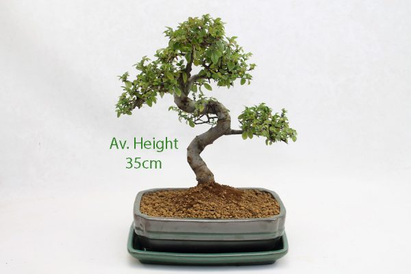 Chinese Elm Bonsai Tree Green Rectangular Pot And Tray available to buy online from All Things Bonsai Sheffield Yorkshire with free UK delivery