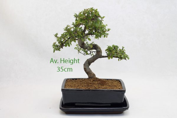 Chinese Elm Bonsai Tree Black Rectangular Pot And Tray Style 2 available to buy online from All Things Bonsai Sheffield Yorkshire with free UK delivery