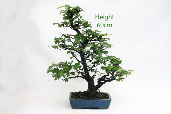 Hornbeam Bonsai Tree Number 465 available to buy from All Things Bonsai Sheffield Yorkshire UK