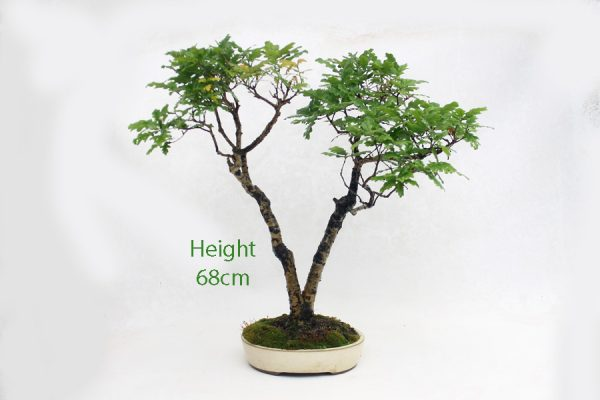 Oak Bonsai Tree Number 526 available to buy from All Things Bonsai Sheffield Yorkshire UK