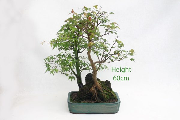 Trident and Japanese Maple Bonsai Tree Number 503 available to buy from All Things Bonsai Sheffield Yorkshire UK