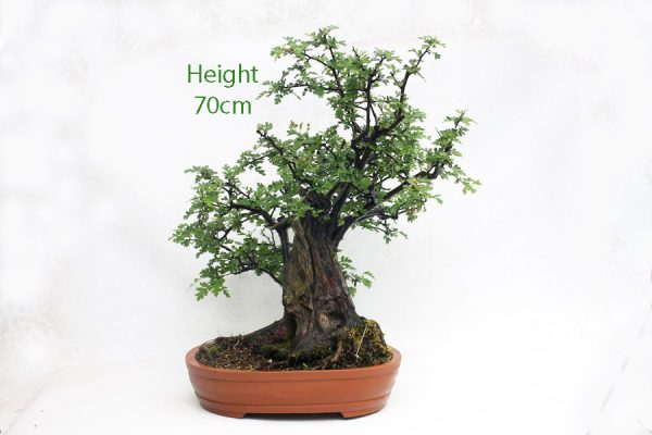 Hawthorn Bonsai Tree Number 550 available to buy from All Things Bonsai Sheffield Yorkshire UK