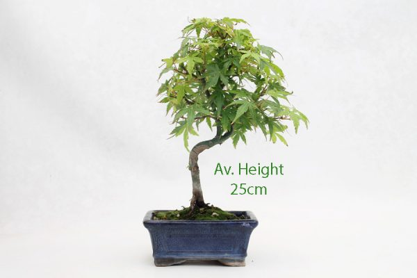 Acer Palmatum Japanese Maple Bonsai Tree Small available to buy online from All Things Bonsai Sheffield Yorkshire with free UK delivery