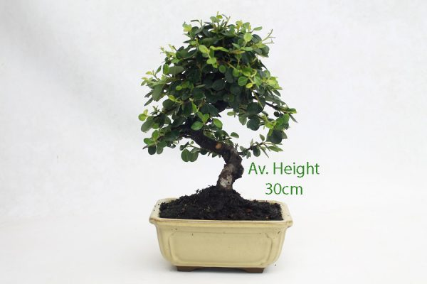 Cotoneaster Flowering Bonsai Tree 16cm Wide Pot available to buy online from All Things Bonsai Sheffield Yorkshire with free UK delivery