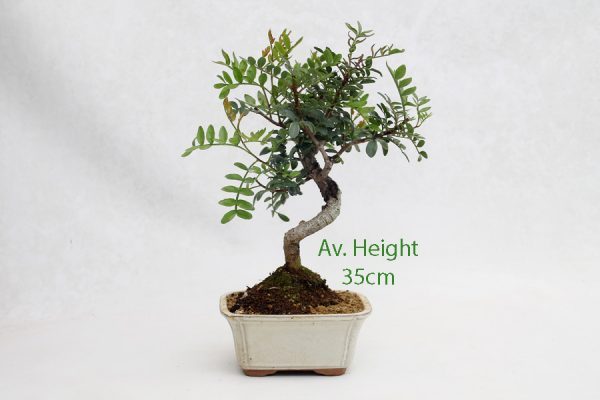 Pistachio Bonsai Tree 8 Year available to buy online from All Things Bonsai Sheffield Yorkshire with free UK delivery