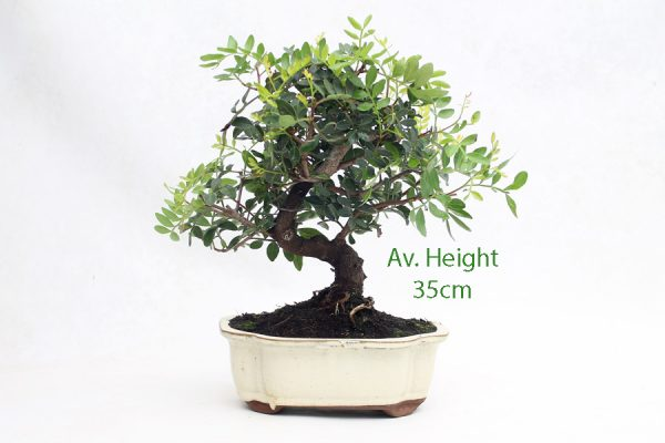 Pistachio Bonsai Tree 10 Year available to buy online from All Things Bonsai Sheffield Yorkshire with free UK delivery