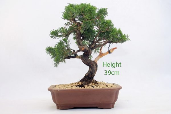 Chinese Juniper Bonsai Tree Number 555 available to buy online from All Things Bonsai Sheffield Yorkshire with free UK delivery
