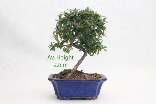 Cotoneaster Flowering Bonsai Tree Small available to buy online from All Things Bonsai Sheffield Yorkshire with free UK delivery
