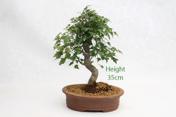 Trident Maple Bonsai Tree Number 620 available to buy online from All Things Bonsai Sheffield Yorkshire with free UK delivery