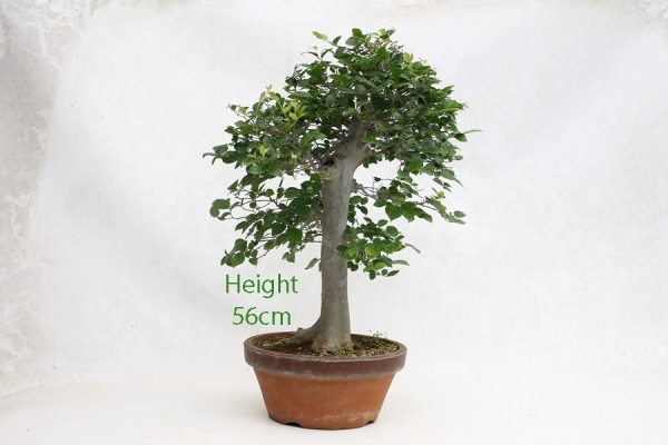 Celtis Hackberry Bonsai Tree Number 230 available to buy online from All Things Bonsai Sheffield Yorkshire with free UK delivery
