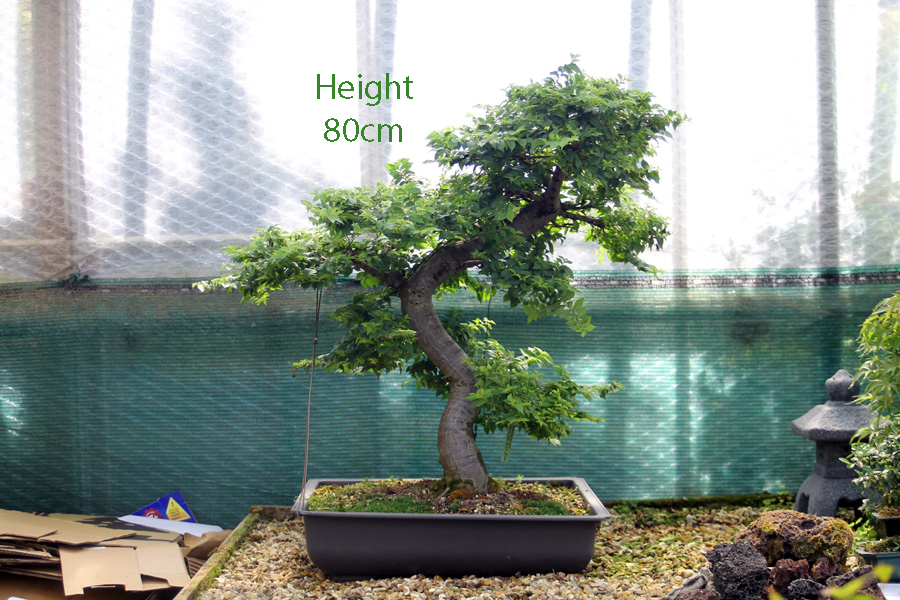 Jacqueline Hillier Elm Tree Number 82 All Things Bonsai