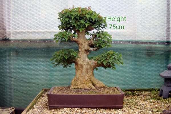 Trident Maple Bonsai Tree Number 552 available to buy from All Things Bonsai Sheffield UK