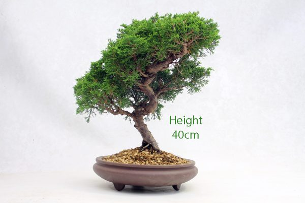Chinese Juniper Bonsai Tree Number 496 available to buy online from All Things Bonsai Sheffield Yorkshire with free UK delivery