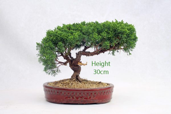 Chinese Juniper Bonsai Tree Number 453 available to buy online from All Things Bonsai Sheffield Yorkshire with free UK delivery