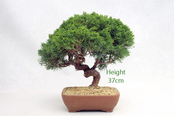 Chinese Juniper Bonsai Tree Number 491 available to buy online from All Things Bonsai Sheffield Yorkshire with free UK delivery