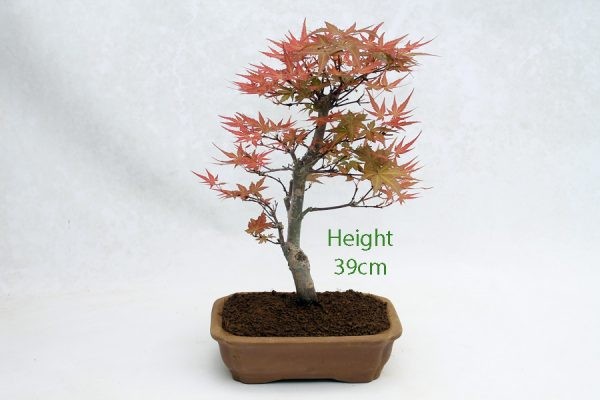 Acer Palmatum Seigen Japanese Maple Bonsai Tree Number 50 available to buy online from All Things Bonsai Sheffield Yorkshire with free UK delivery