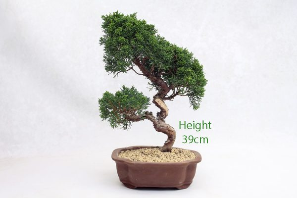 Chinese Juniper Bonsai Tree Number 540 available to buy online from All Things Bonsai Sheffield Yorkshire with free UK delivery
