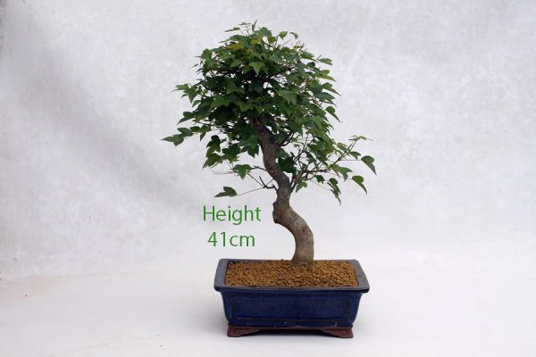 Trident Maple Bonsai Tree Number 476 available to buy online from All Things Bonsai Sheffield Yorkshire with free UK delivery