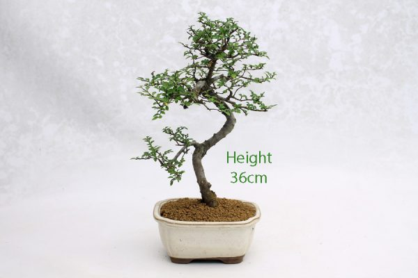 Chinese Elm Bonsai Tree Number 572 available to buy online from All Things Bonsai Sheffield Yorkshire with free UK delivery